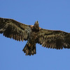 Juvenile Bald eagle in flight, Phippsburg, Maine