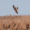 Northern Harrier, also called a Marsh Hawk, in mid dive into Phragmites rushes in pursuit of prey