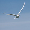 Royal Tern, Sterna maxima in flight, Sanibel Island, Key West Florida, March 2013