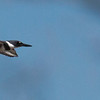 Belted Kingfisher, male in flight, Long Cove, St George Maine, Knox County September