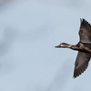 American Black Duck in flight, Phippsburg, Maine