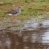 Lesser Yellowlegs, migratory shorebird in  Maine, Sebasco Harbor, early September