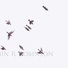 Cedar Waxwings take flight, flock, birds in Phippsburg, Maine