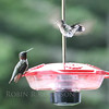Ruby Throated Hummingbird in Maine, very migratory here