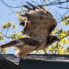 Red-tailed hawk, Phippsburg, Maine, spring, hunting raptor