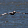 Brown Pelican in flight, south Florida