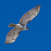 Red-tailed Hawk in flight, Hermit Island, Phippsburg Maine