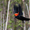 Red Winged Blackbird in flight, male with wings up, red epalettes showing, spring, Phippsburg Maine