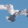 . For more information on Snowy Owls, see http://www.owlpages.com/owls.php?genus=Bubo&species=scandiacus