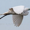 Great White Heron, Great White Heron