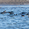 Bufflehead Ducks in flight, Popham Beach State Park at the lagoon, December Phippsburg Maine