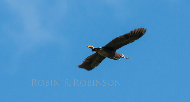 Green Heron in flight, Phippsburg, Maine late July