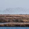 Thousands of Dunlins in flight above salt marsh habitat, some of which has been overtaken by invasive Phragmites.