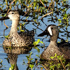 BLUE-WINGED TEAL - 2