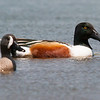 NORTHERN SHOVELER - CLICK POND