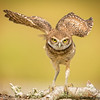 BURROWING OWL N
