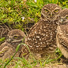 THE FAMILY BURROWING OWLS 2013 D