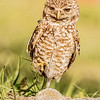 BURROWING OWL 2013 A