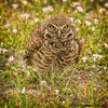 BURROWING OWLS 2013 I FULL PORTRAIT
