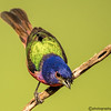 PAINTED BUNTING MALE 9