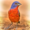 PAINTED BUNTING MALE 7