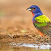 PAINTED BUNTING MALE 2