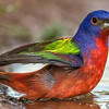 PAINTED BUNTING MALE 10