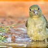 PAINTED BUNTING FEMALE 5