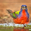 PAINTED BUNTING MALE 3
