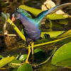 and another PURPLE GALLINULE - 2013 D