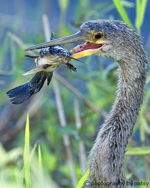 ANHINGA with FISH D