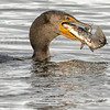 CORMORANT with FISH A