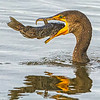 CORMORANT with FISH C