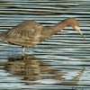 LITTLE BLUE HERON REFLECTIONS