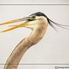 PORTRAIT - GREAT BLUE