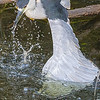 BLACK-CROWNED NIGHT HERON FISHING from branch