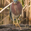 GREEN HERON - staring me down