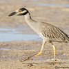 YELLOW-CROWNED NIGHT HERON -2