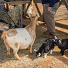 Baby goats in the Children's Zoo contact yard.