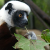 Zenobia, mother of the baby Coquerel's sifaka