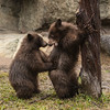 Black bear cubs, Willow and Belle, out in their exhibit for the second time.