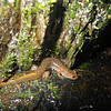 Mountain Dusky Salamander