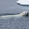 """Dick """"polar bear, 11 o'clock, 200 yards, swimming""""!  This was taken from our cabin porthole."""