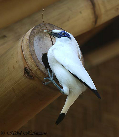 A Bali Starling building a nest