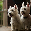 Banjo and Scout - The overly-photographed westies.