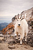 Cascade Mountain Goat