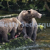 Mama Brown Bear and Cub Fishing
