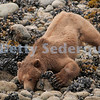Beachcombing Bear, Glacier Bay