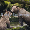 Brown Bear and Cub Fishing for Salmon