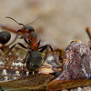 Southern wood ant (<i>Formica rufa</i>) and dead cricket
